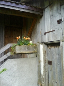 Tulips at the back door