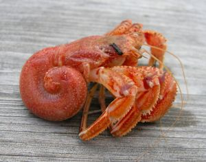 Vulnerable: hermit crab with no shell.